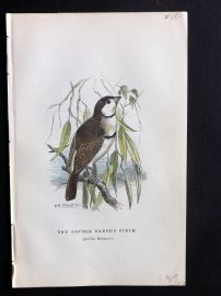 Gedney 1888 Antique Hand Col Bird Print. Double Banded Finch.
